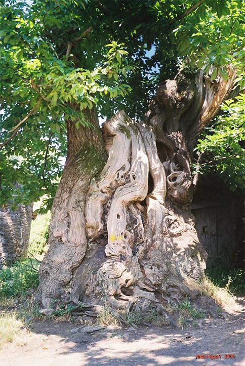 Árvore milenar entre Triacastela e Renche